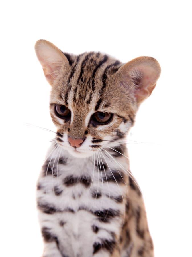 El gato de leopardo asiático en blanco imagenes de archivo