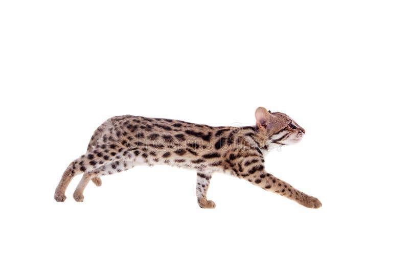 El gato de leopardo asiático en blanco imágenes de archivo libres de regalías