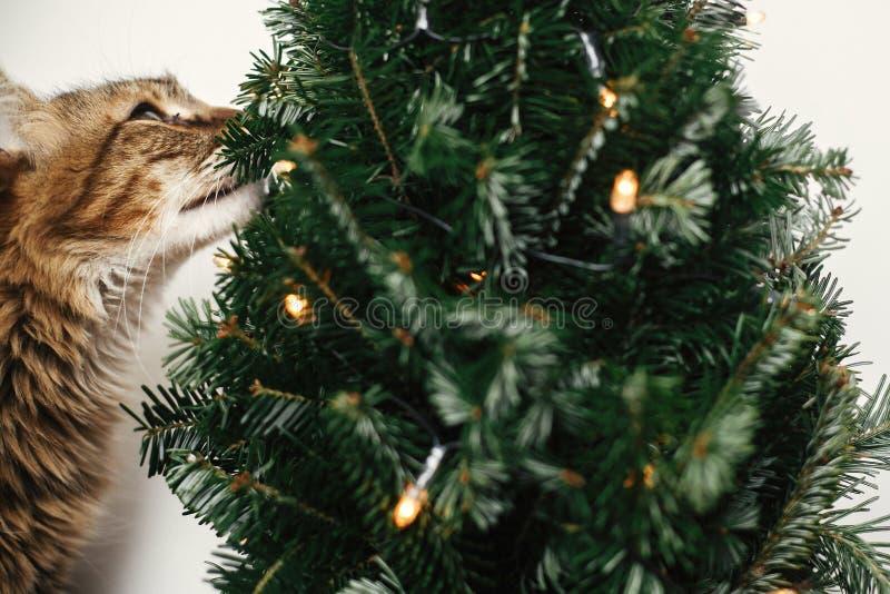 El gato de Maine oliendo pequeño árbol de Navidad con luces. Pequeño gatito relajante bajo un árbol de Navidad festivo. Vacaci fotos de archivo libres de regalías
