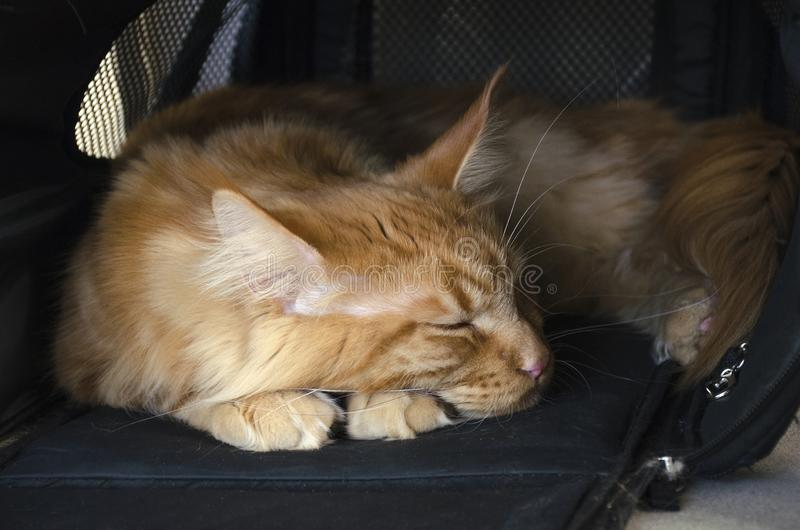 El gato de mapache de mármol rojo grande de Maine duerme en un portador del animal doméstico imagen de archivo