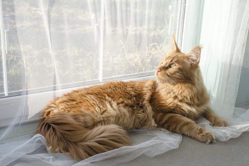 El gato de mapache de mármol rojo grande de Maine miente en las cortinas blancas contra una ventana imágenes de archivo libres de regalías