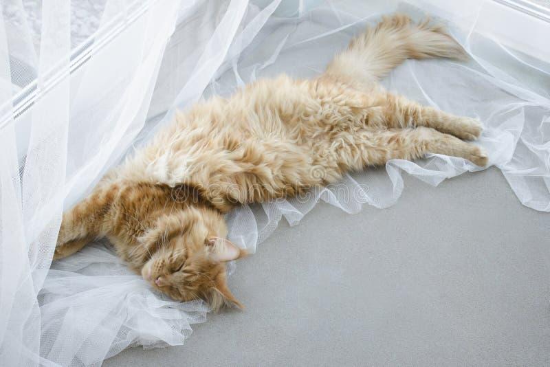 El gato de mapache de mármol rojo grande de Maine miente en las cortinas blancas y los estiramientos imagen de archivo
