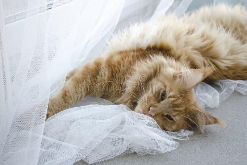 El gato de mapache de mármol rojo grande de Maine miente en las cortinas blancas y los estiramientos fotografía de archivo libre de regalías