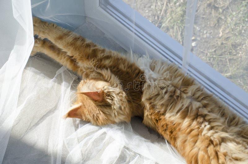 El gato de mapache de mármol rojo grande de Maine miente en las cortinas blancas y los estiramientos fotos de archivo