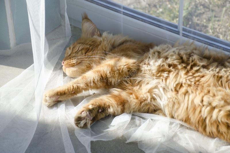 El gato de mapache de mármol rojo grande de Maine miente en las cortinas blancas y los estiramientos imagen de archivo libre de regalías