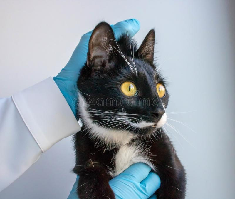El gato del blac guarda la clínica del doctor fotos de archivo libres de regalías