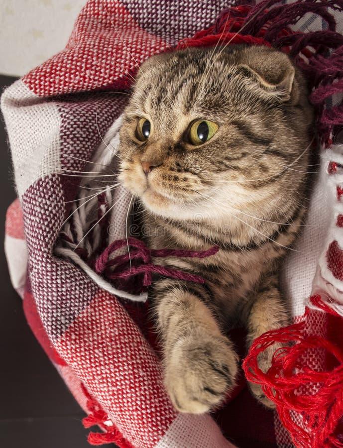 El gato del doblez del escocés miente debajo de la tela escocesa coloreada a cuadros fotografía de archivo