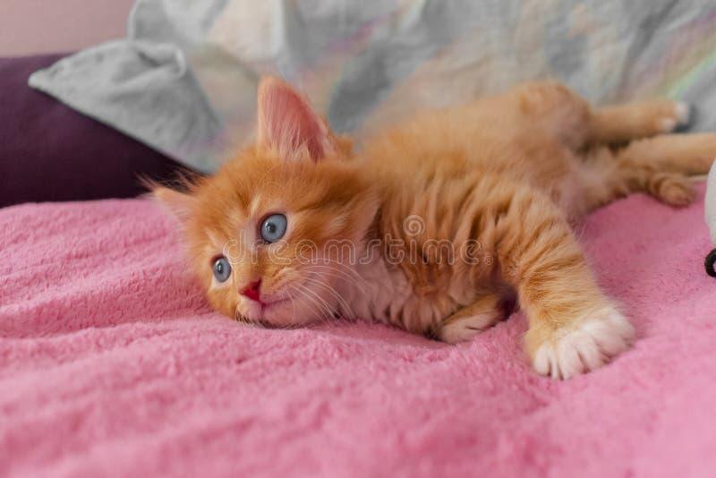El gato del jengibre se relaja después de juego el gatito está mintiendo en su parte posterior en la cubierta rosada y está miran fotos de archivo libres de regalías