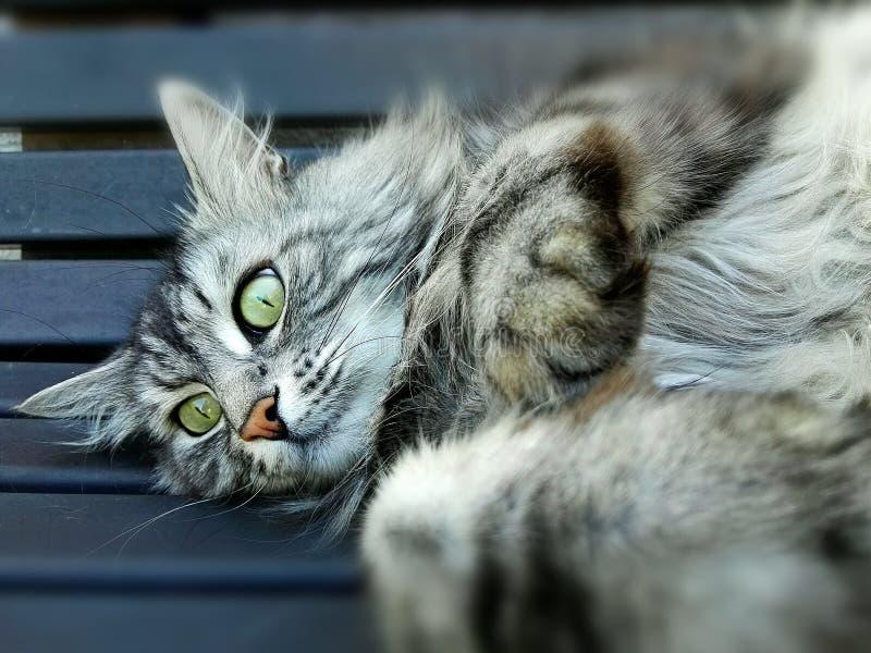 El gato del mainkun miente en el banco fotografía de archivo