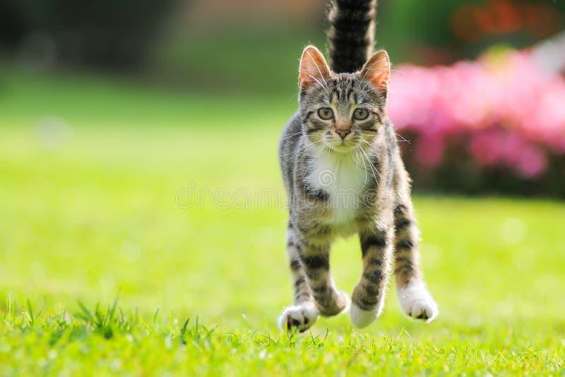 El gato divertido corre rápidamente a lo largo de la trayectoria entre la hierba en piernas aumentadas jardín del verano las alta foto de archivo libre de regalías