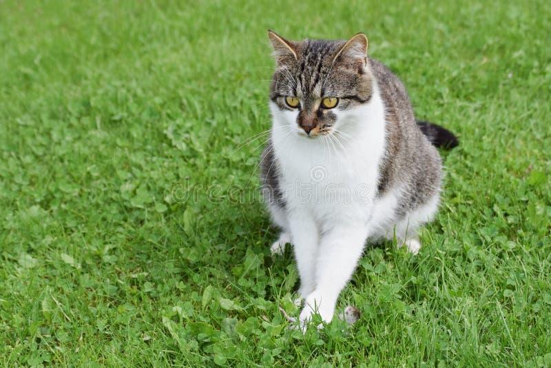 El gato domesticado cogió el ratón que se sentaba en el césped verde fotografía de archivo