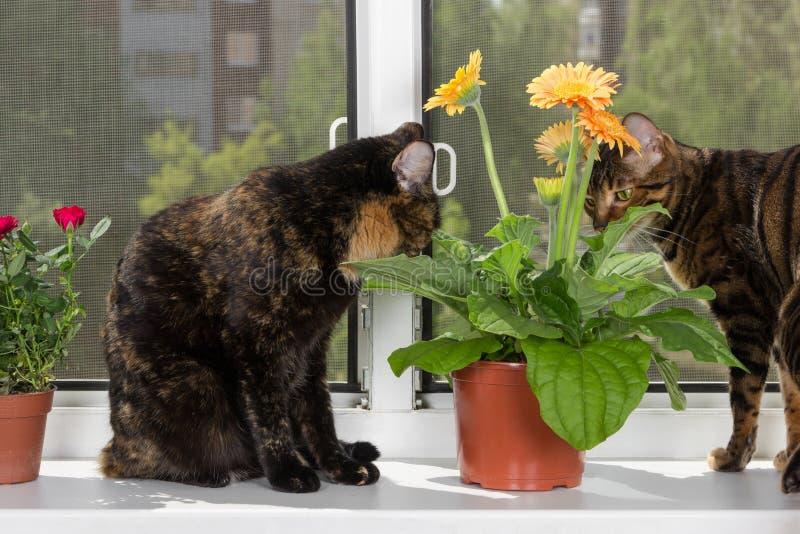 El gato dos se sienta en travesaño de la ventana y la flor del gerbera de la mirada en maceta fotografía de archivo