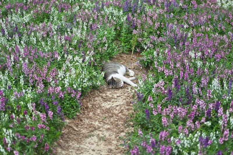 El gato es un tipo animal mamífero y color gris tan lindo del animal doméstico que duerme con los campos de la lavanda foto de archivo
