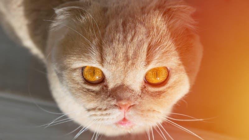El gato escocés con la naranja de oro observa la mirada para arriba en el sol foto de archivo libre de regalías