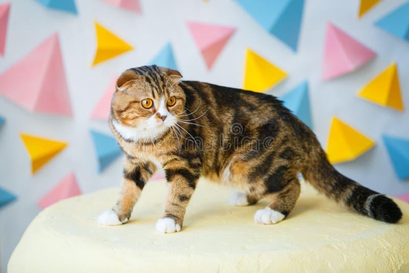 El gato escocés del doblez está en el taburete foto de archivo libre de regalías