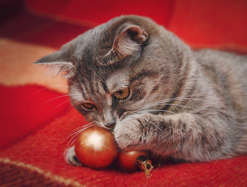 El gato escocés lindo está jugando con las bolas de la Navidad fotografía de archivo