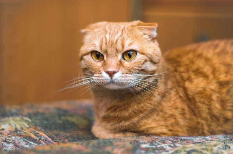 El gato escocés rojo serio del doblez miente en la manta imágenes de archivo libres de regalías
