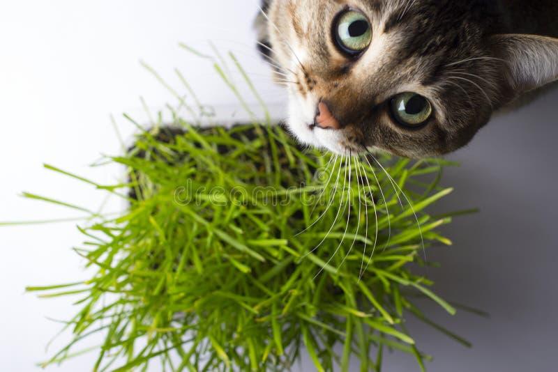 El gato está comiendo la hierba fotos de archivo libres de regalías