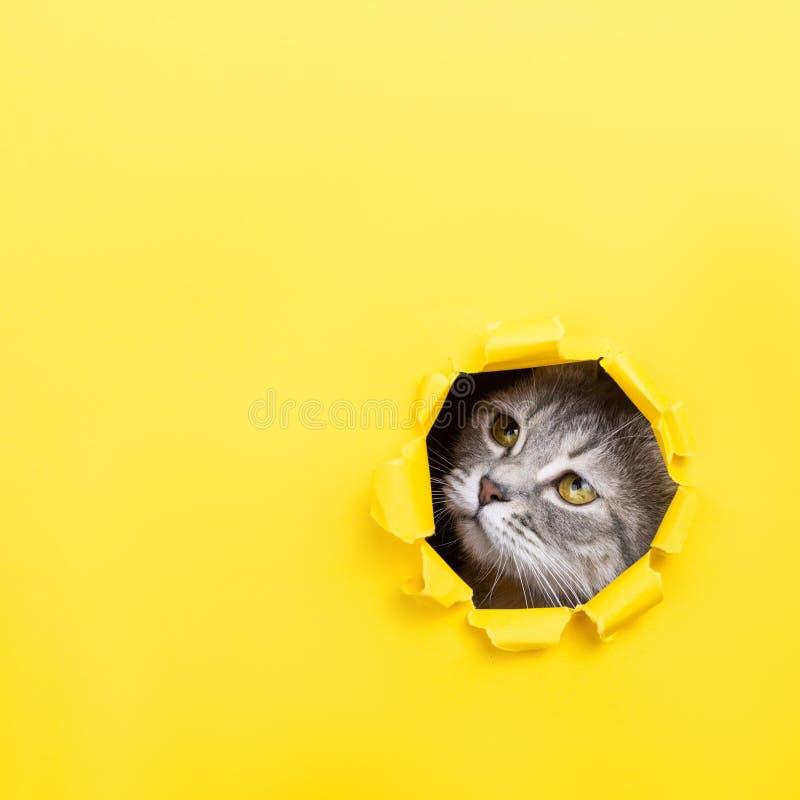 El gato está mirando a través de un agujero rasgado en papel amarillo Gatito juguetón del humor Concepto inusual, espacio de la c foto de archivo