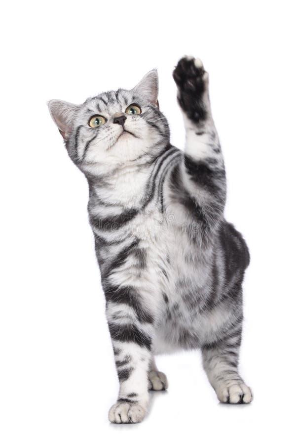 El gato estira una pata imagen de archivo libre de regalías