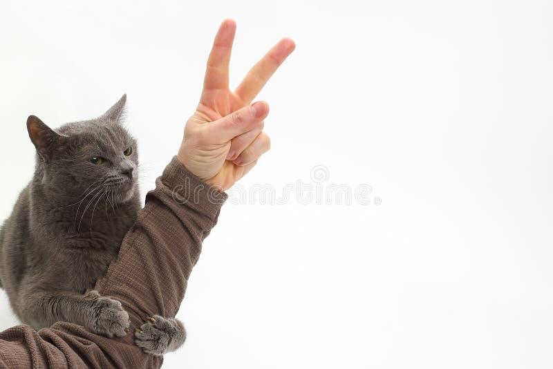 El gato gris abrazó la mano del hombre con la muestra de la victoria imagen de archivo libre de regalías