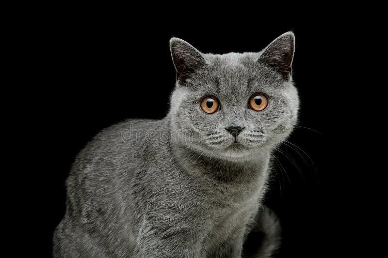 El gato gris con amarillo observa en un fondo negro imágenes de archivo libres de regalías