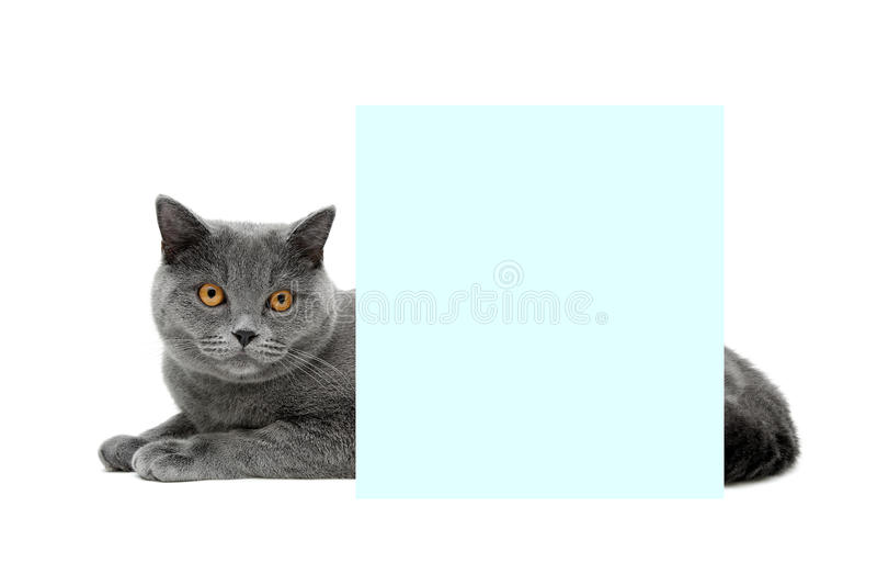 El gato gris con amarillo observa la mentira detrás de una bandera en un backg blanco foto de archivo