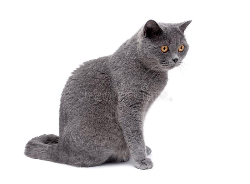 El gato gris con los ojos amarillos se cierra para arriba en un fondo blanco fotografía de archivo libre de regalías