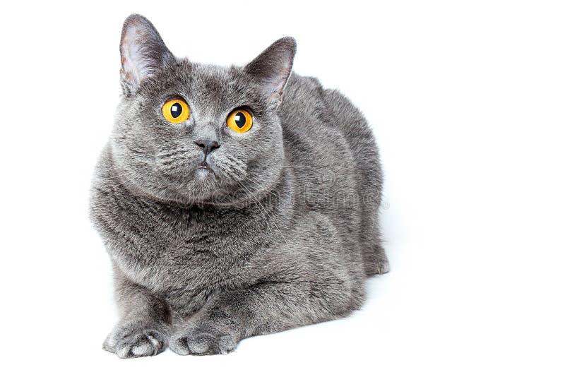 El gato gris del shorthair británico con la naranja abierta de par en par grande observa en un fondo blanco imagenes de archivo