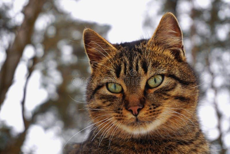 El gato gris en verde sale del fondo del bosque fotografía de archivo