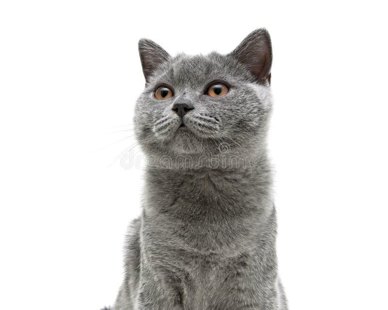 El gato gris joven con amarillo observa en un fondo blanco del fondo fotos de archivo libres de regalías
