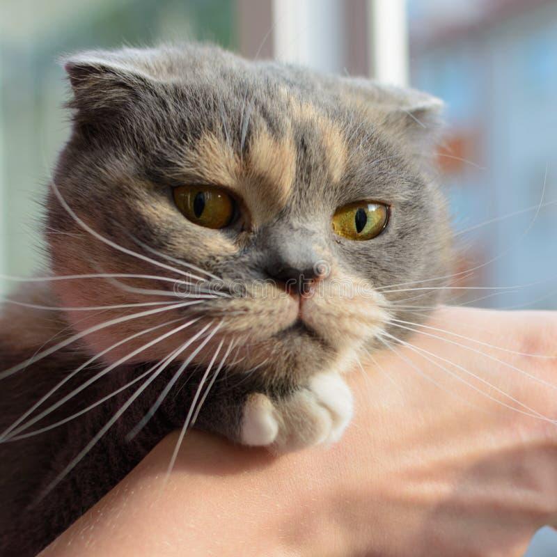 El gato gris joven que mira la cámara, mujeres da a rasguño la barbilla de un gato foto de archivo libre de regalías