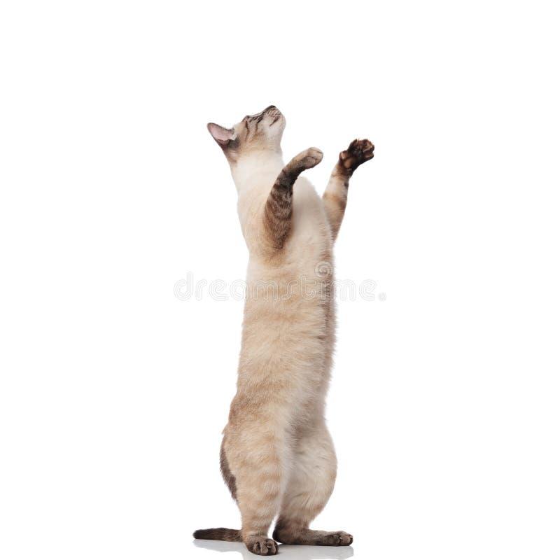 El gato gris lindo de los metis que se coloca en dos piernas mira para arriba fotos de archivo libres de regalías