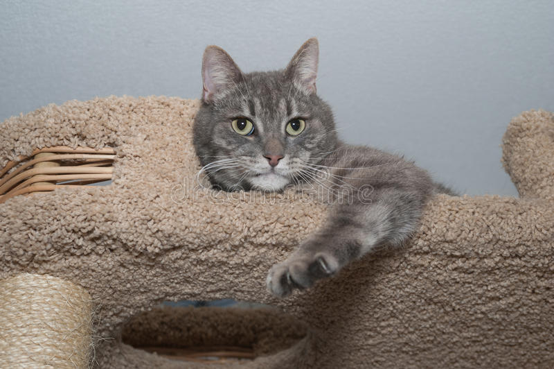 El gato gris rayado miente en el rasguño de los posts fotografía de archivo