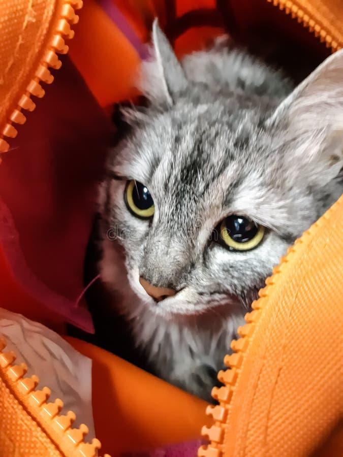 El gato gris rayado que se sienta en un bolso anaranjado en la recepción a los ojos del veterinario tiene miedo imagen de archivo