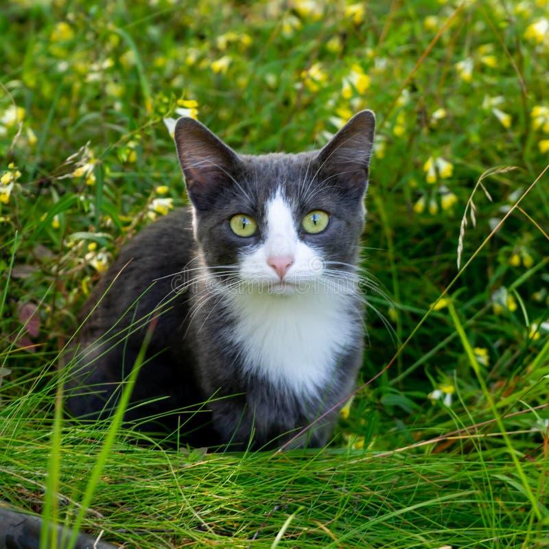 El gato gris se está sentando en la hierba en el prado imagenes de archivo