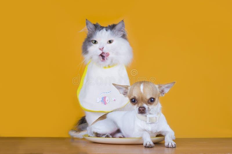 El gato hambriento quiere comer un pequeño perro foto de archivo