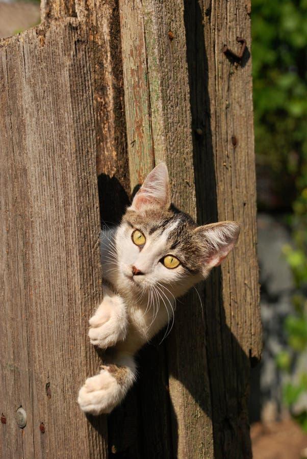 El gato hermoso con amarillo grande observa la ocultación al aire libre en cerca de madera del vintage imagen de archivo