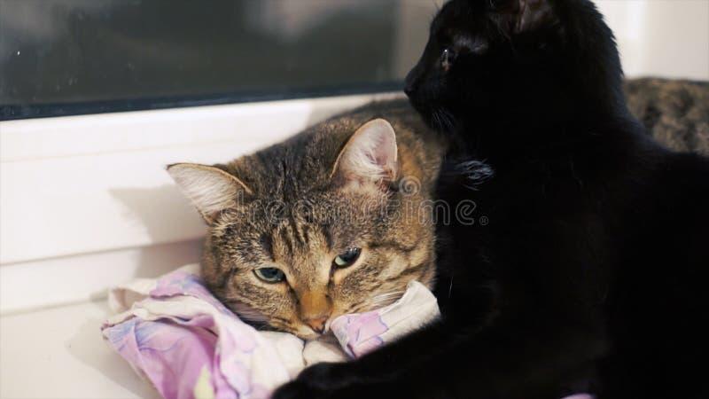 El gato hermoso dos toma el sol en el sol en el alféizar clip Dos gatos en casa en el alféizar imagen de archivo libre de regalías