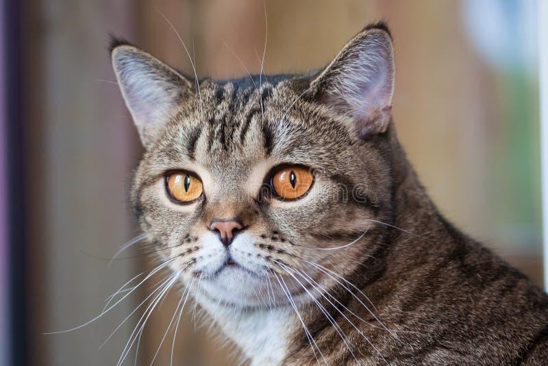 El gato hermoso femenino del gato atigrado recto escocés con los ojos anaranjados mira atento a continuación imagenes de archivo
