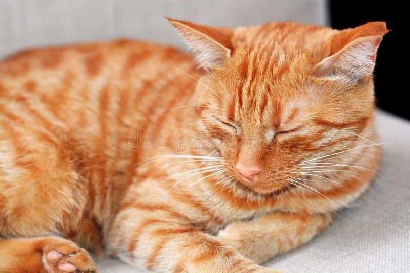 El gato hermoso rayado pelirrojo de Shorthair miente en una silla beige en casa en un día y sueños de verano foto de archivo libre de regalías