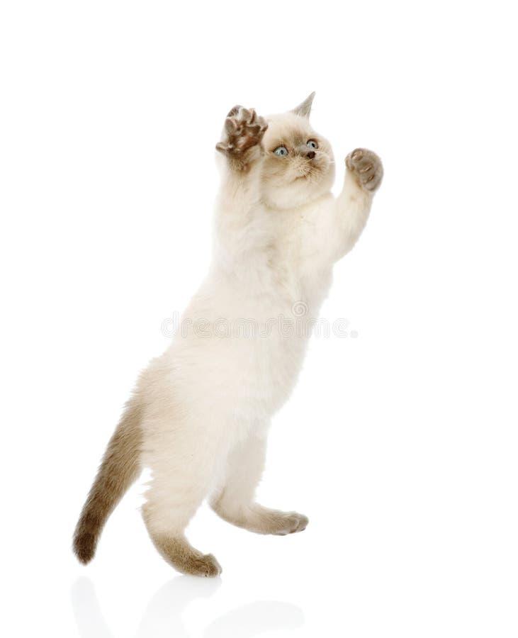 El gato juguetón divertido de británicos Shorthair se está colocando Aislado fotografía de archivo