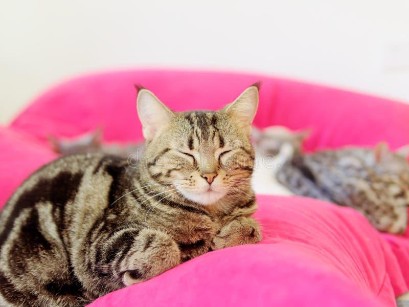 El gato lindo de Bengala que mentía en el amortiguador rojo, ojos se cerró con el estilo cómodo, gato soñoliento fotos de archivo