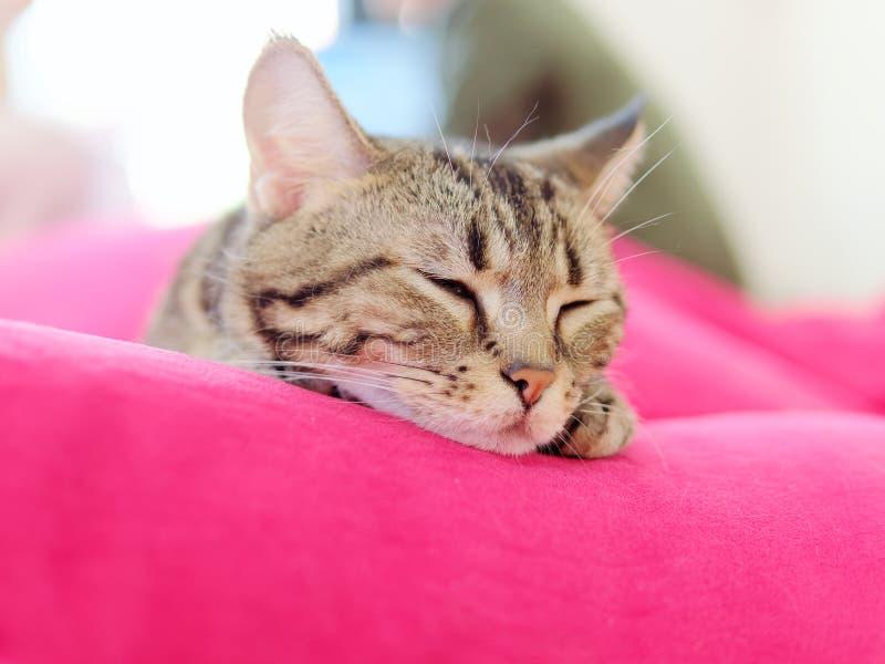 El gato lindo de Bengala que mentía en el amortiguador rojo, ojos se cerró con el estilo cómodo, gato soñoliento imagen de archivo libre de regalías