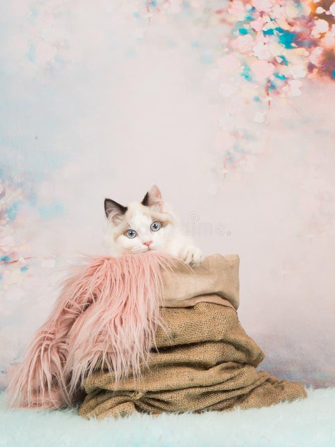 El gato lindo del bebé con los ojos azules en un saco de la arpillera en un pastel romántico coloreó el fondo foto de archivo