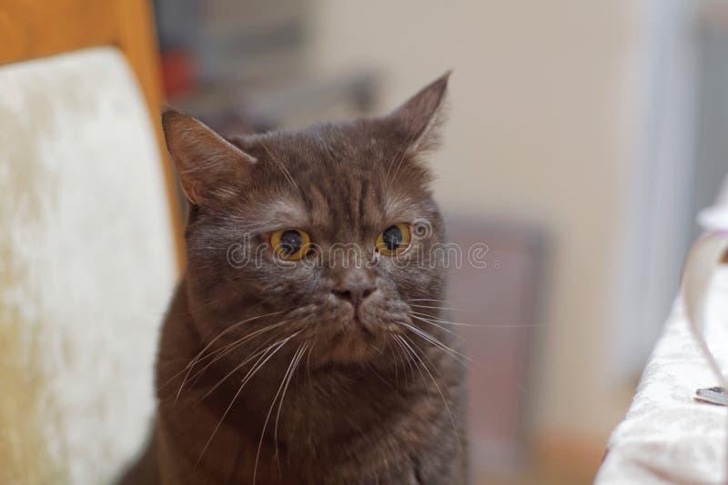 El gato marrón escocés del chocolate se sienta en una silla cerca de la tabla de cena con una mirada enojada y también quiere com imagen de archivo libre de regalías