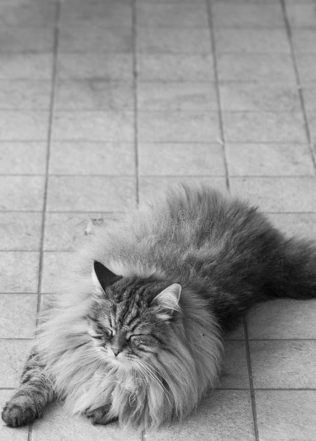 El gato masculino del gato atigrado de Brown que miente raza al aire libre, siberiana adentro se relaja imagen de archivo