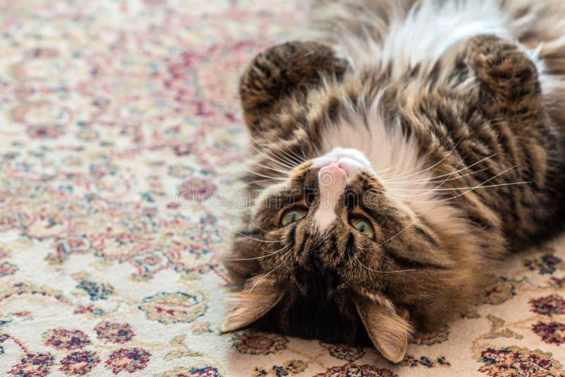 El gato miente en la parte posterior en la alfombra Primer fotografía de archivo