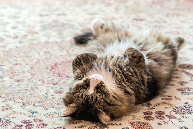 El gato miente en la parte posterior en la alfombra Primer foto de archivo