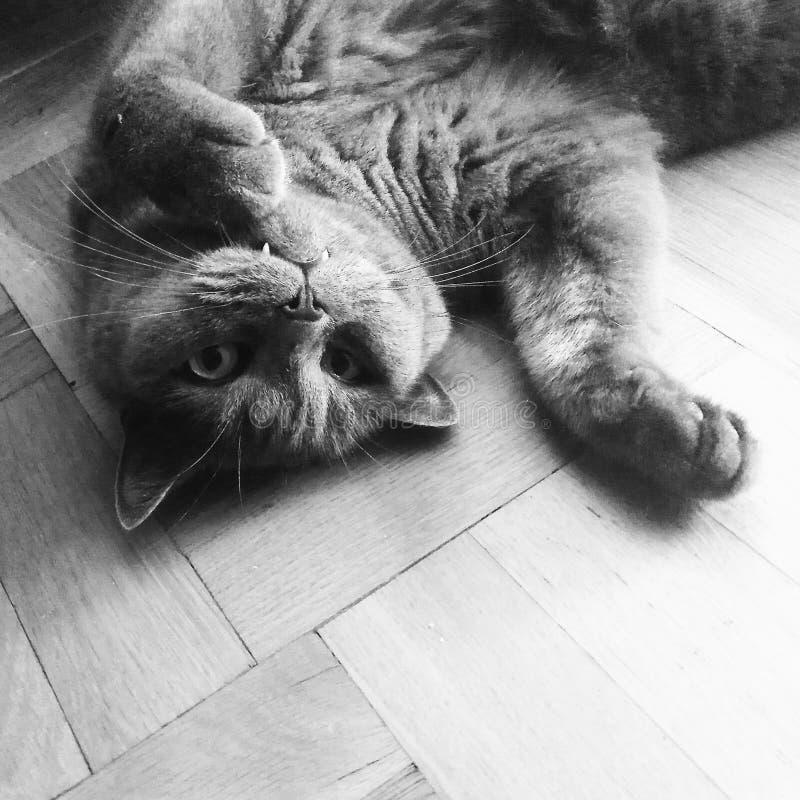 El gato miente en su parte posterior foto de archivo libre de regalías